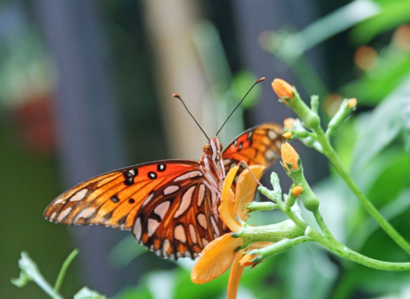butterflyolbrich